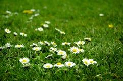 Fiori bianchi in erba verde Fotografia Stock Libera da Diritti