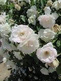 Fiori bianchi estetici fotografia stock