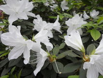 Fiori bianchi, fiori Albero di fioritura in primavera Fiori bianchi, bianco delle azalee, camelie Primavera, fiori Fioritura dell Immagine Stock