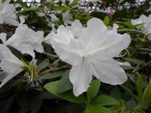 Fiori bianchi, fiori Albero di fioritura in primavera Fiori bianchi, bianco delle azalee, camelie Primavera, fiori Fioritura dell Fotografie Stock