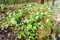 Fiori bianchi, foglie verdi Fondo verde Immagini Stock Libere da Diritti