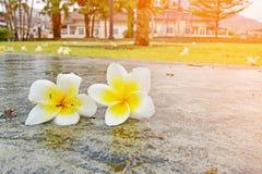 fiori bianchi gialla sul pavimento di calcestruzzo fotografia stock