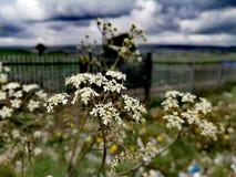 Fiori bianchi il giorno nuvoloso fotografia stock