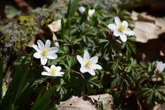 fiori bianchi intorno a tempo orientale Fotografia Stock