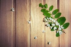 Fiori bianchi - l'albero di locusta fiorisce sulla cenere Immagini Stock Libere da Diritti