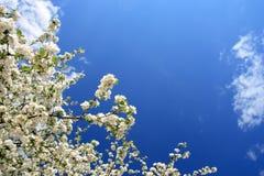 Fiori bianchi (mela-albero), sorgente, Polonia Fotografia Stock Libera da Diritti