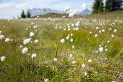 Fiori bianchi nei prati dell'alta montagna Immagini Stock Libere da Diritti