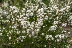 Fiori bianchi nel giardino immagini stock libere da diritti