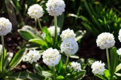 Fiori bianchi nel giardino del fiore Immagine Stock Libera da Diritti