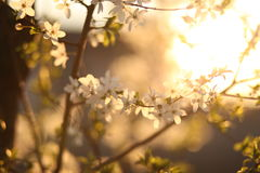 Fiori bianchi nel legno Immagini Stock Libere da Diritti