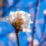 Fiori bianchi nell'orario invernale Fotografie Stock Libere da Diritti