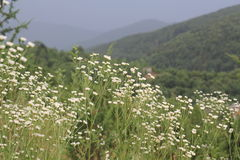 Fiori bianchi nelle montagne Fotografia Stock Libera da Diritti