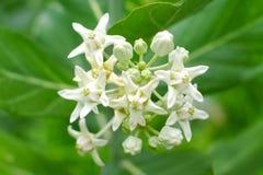 Fiori bianchi o calotropis gigantea della corona del primo piano che fioriscono sulla t Fotografia Stock