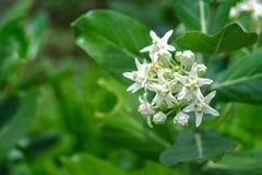 Fiori bianchi o calotropis gigantea della corona del primo piano che fioriscono sulla t Fotografia Stock Libera da Diritti