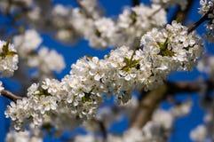 Fiori bianchi in primavera Fotografie Stock