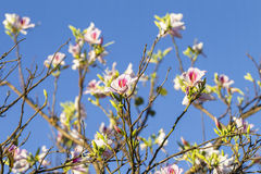 Fiori bianchi rosa della primavera Immagine Stock