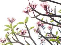 Fiori bianchi rossi del frangipane, plumeria Fotografia Stock Libera da Diritti