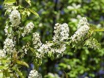Fiori bianchi sentiti del hackberry, prunus padus fotografia stock libera da diritti