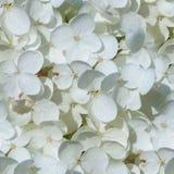 Fiori bianchi senza cuciture dell'ortensia Fondo, natura Fotografia Stock