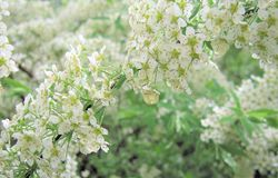 Fiori bianchi spirea Fotografie Stock Libere da Diritti