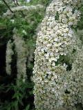 Fiori bianchi spirea Fotografia Stock