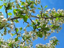 Fiori bianchi su un fondo di cielo blu immagini stock