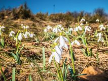 Fiori bianchi su una radura della montagna fotografie stock libere da diritti
