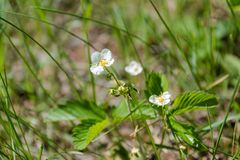 Fiori bianchi Fiori bianchi su una radura Una radura di estate con i fiori Immagine Stock Libera da Diritti