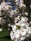Fiori bianchi sui rami della ciliegia di fioritura giapponese immagine stock libera da diritti