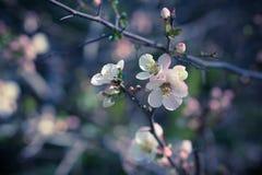 Fiori bianchi sui rami per bello fondo d'annata Fotografia Stock