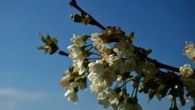 Fiori bianchi sul ciliegio sbocciante in primavera Mazzo di fiori e di foglie verdi della ciliegia sul ciliegio stock footage