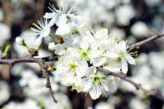 Fiori bianchi sull'albero fotografia stock