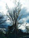 Fiori bianchi sull'albero fotografie stock
