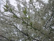 Fiori bianchi sull'albero di ciliegia susina Immagini Stock Libere da Diritti