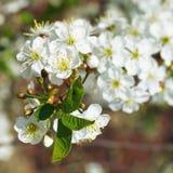 Fiori bianchi sulla fine del ramoscello del ciliegio su Fotografia Stock Libera da Diritti