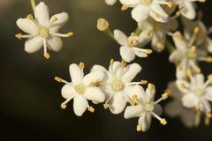 Fiori bianchi sulla fine di Bush di bacca di sambuco su fotografie stock libere da diritti