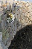 Fiori bianchi sulla parete della roccia fotografia stock libera da diritti