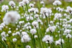 Fiori bianchi sulla priorit? bassa dell'erba verde fotografia stock