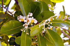 Fiori bianchi tropicali Immagine Stock