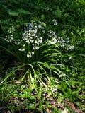 Fiori bianchi in un fondo delle foglie fotografie stock libere da diritti