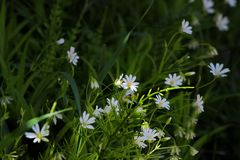 Fiori bianchi in una foresta scura Immagini Stock Libere da Diritti