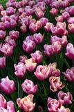 Fiori bianchi viola Fotografie Stock Libere da Diritti