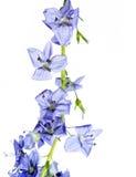 Fiori blu immagine stock