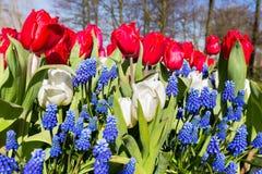 Fiori blu bianchi rossi nella stagione primaverile Fotografia Stock