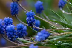 Fiori blu con le gocce di rugiada immagini stock libere da diritti