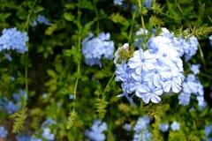 Fiori blu del fiore con l'altro fondo dei fiori Fotografia Stock