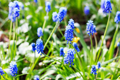 Fiori blu del giacinto dell'uva nel giardino del fiore Immagini Stock