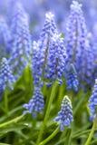 Fiori blu del giacinto in primo piano immagini stock