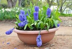 Fiori blu del hyachinth in vaso Fotografia Stock
