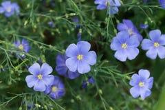 Fiori blu del lino Fotografia Stock